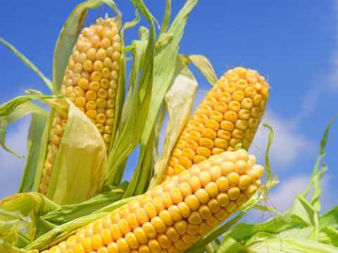 К чему снится початок кукурузы: толкование сна, в