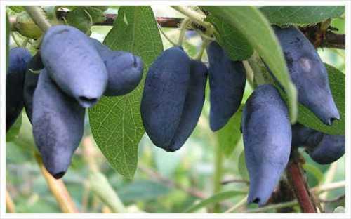 Посадка жимолости съедобной: выращивание из