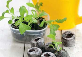 Выше мы уже разобрались, когда сажать петунию на рассаду. Растить цветок безрассадным способом возможно только в южных регионах и всё равно лучше выбирать ранние сорта это завезённое растение, для него наш климат неестественный