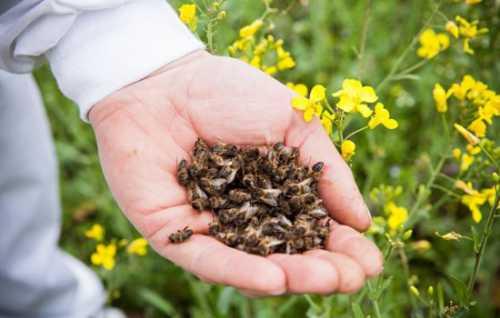Полезные свойства пчелиного подмора, лечебные